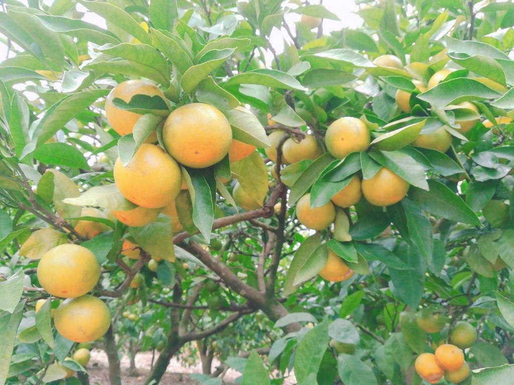 鹿児島 薩摩川内のクルス農園栽培の極早生みかん