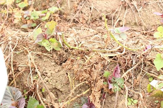 2020年種子島の安納芋は、さつまいもの茎から全体を枯らして行く、基腐病という病気が流行し不作です。