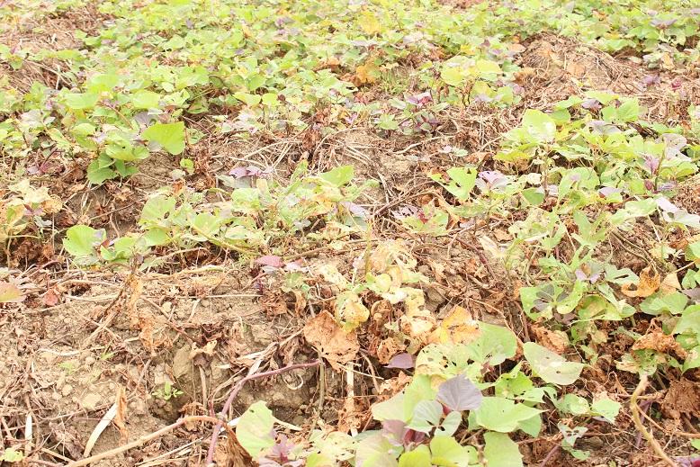 基腐病で枯れてしまった種子島の安納芋。