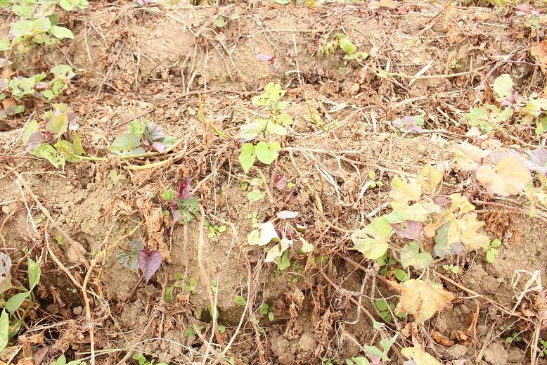 基腐病(もとぐされびょう)により、ねっとり甘い蜜芋として知られる安納芋の茎がやせ細り、甘さも乗っていないことが伺えます。