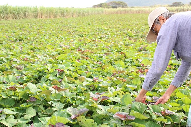 美味しい安納芋を通販で全国にお届けするため、農家さんは絶え間なく努力をされています。