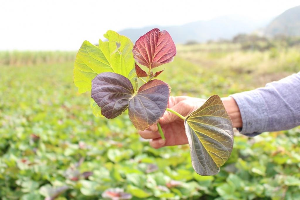 元気な安納芋の葉っぱは本来こういう色をしています。