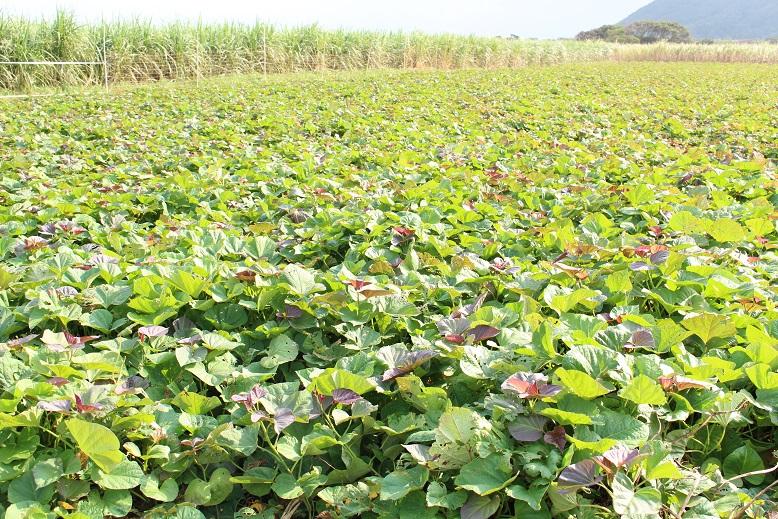 種子島の西之表市にあるさつまいも農家、平原農園さんの安納芋畑です。