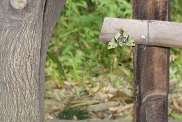 落ち葉に似た蛾の画像
