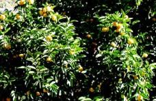 橘の樹と実