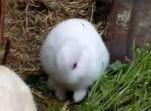 耳なしウサギ
