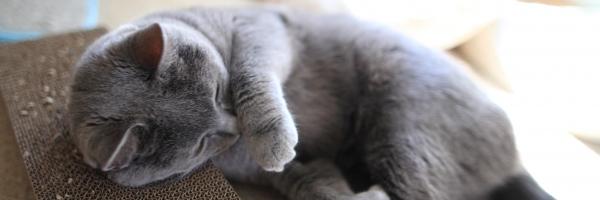 猫雑貨のお店にゃんスタイル シャルトリューのサキちゃん