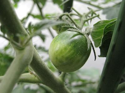 プチトマト 青い実