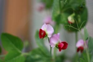 さやえんどうの花 グリーンピースの花 green peas