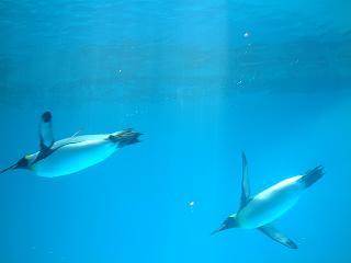 泳いで泳いで泳ぐペンギンたち