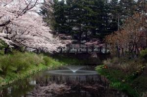 08亀が池-桜02