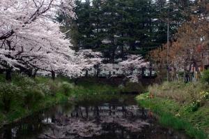 08亀が池-桜03