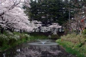 08亀が池-桜04