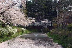 08亀が池-桜05