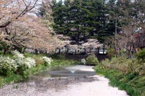 08亀が池-桜06