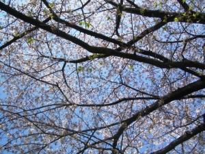 世田谷公園の桜