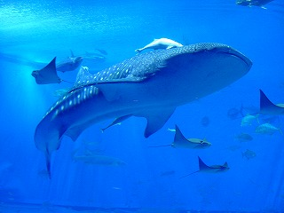 じんべいザメ