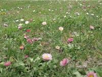 クッチャロ湖の花