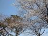 萩城跡の桜