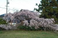 平安古のしだれ桜