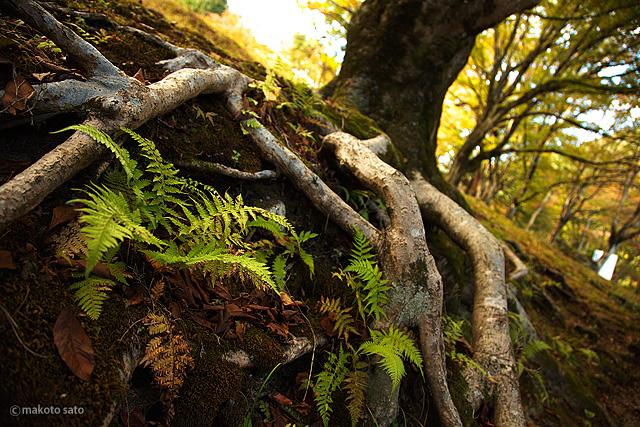 ヤマモミジの根とシダの葉