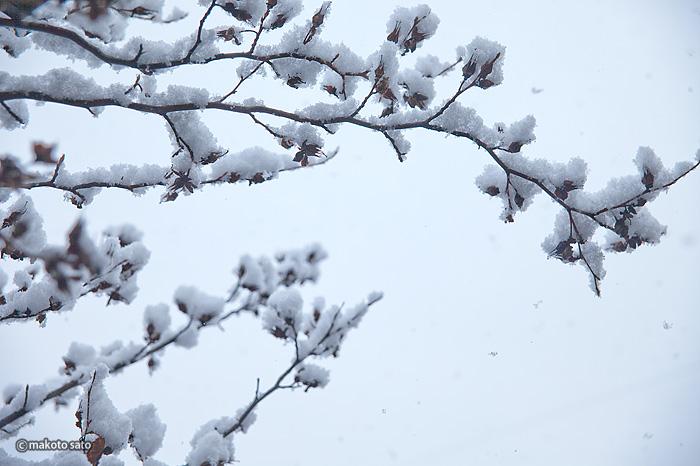 雪積もる夏椿の木