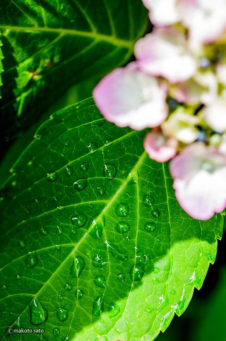 紫陽花の葉の上の雫