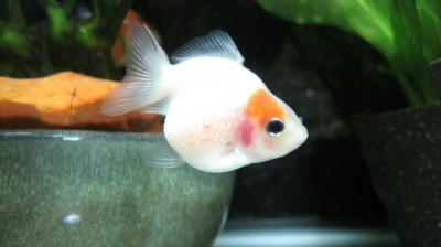赤 斑 病 金魚