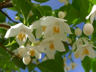 2013_05_31エゴノキの花