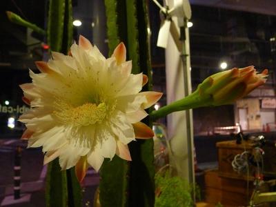 2013_08_26鬼面角の花