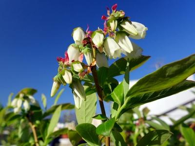 2014_05_13ブルーベリの花