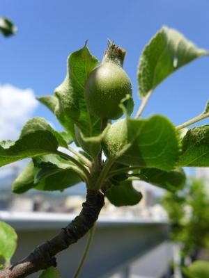 2014_05_28ヒメリンゴの実
