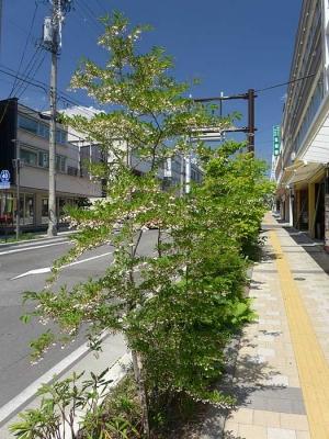 2014_06_01エノゴキの花
