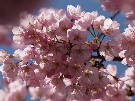 近所の早咲きの桜
