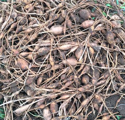 ほど芋の種芋