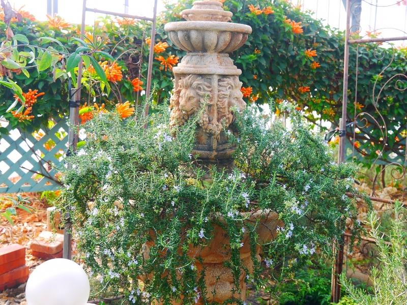 ローズマリーの花(2.jpg