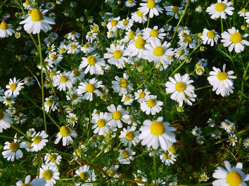 カモミールの花.jpg