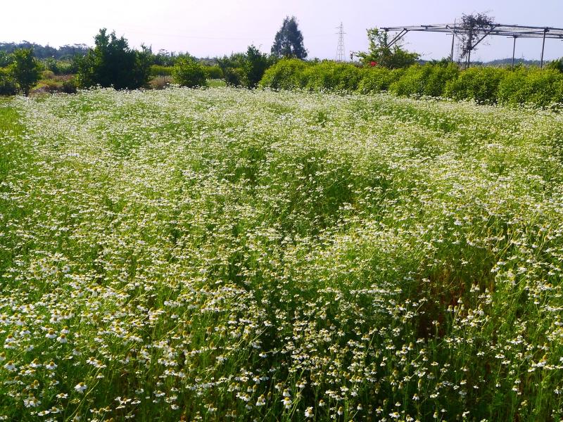 カモミール畑.jpg