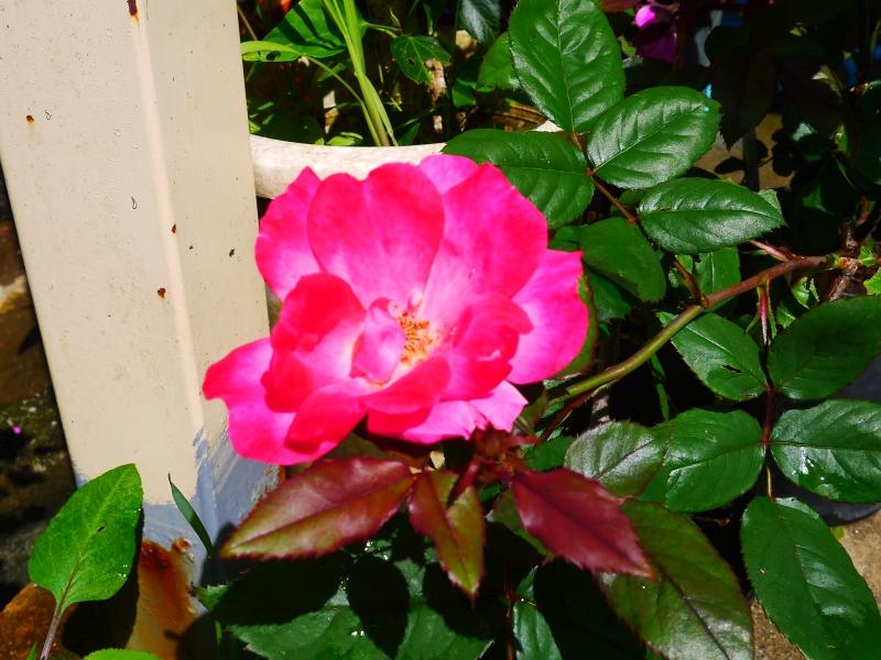 ふゆき薔薇2