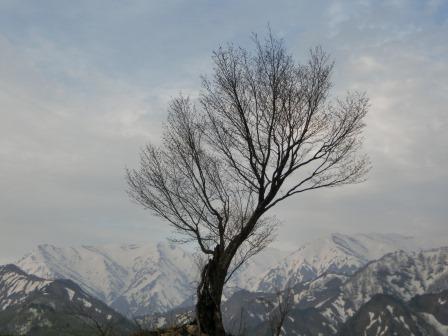 """State of """"one Taruguchi Pass cherry tree"""""""
