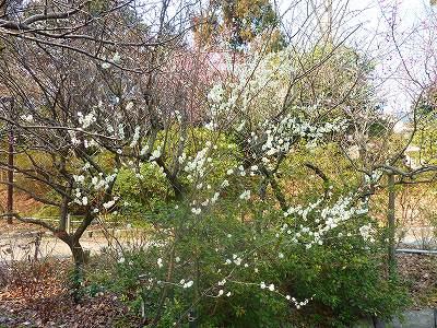 梅の樹が密生してます。