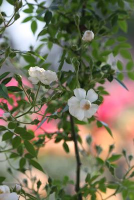 荒牧のバラ