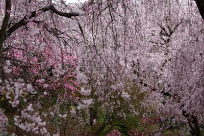 原谷苑しだれ桜