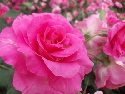 初めてのバラ