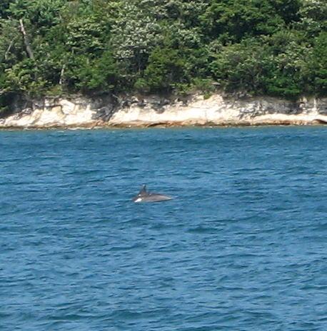 能登島 野生のイルカ