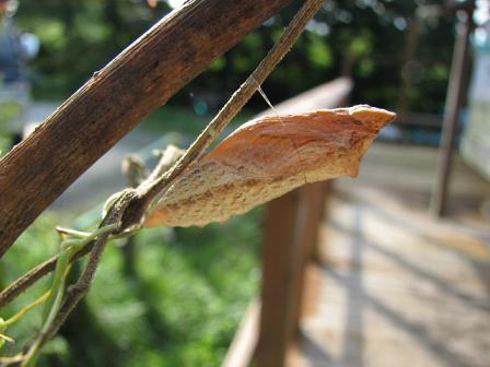 キアゲハの蛹 1号クン