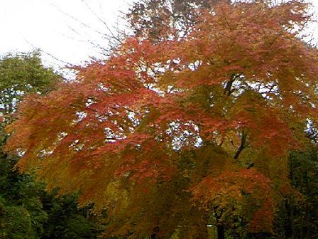 富士山麓の紅葉 ピーク 「いろはもみじ」