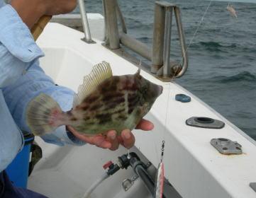 釣り上げたカワハギ
