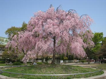 鳥居の前の桜