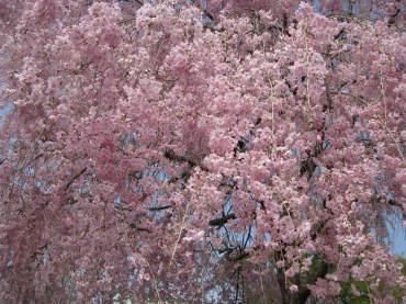 しだれ桜あっぷ